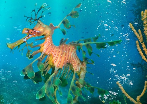 sea-dragon