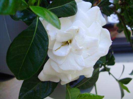 gardenia-3-m